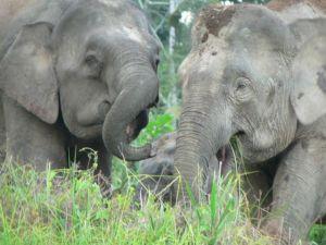 p-elephant-pair