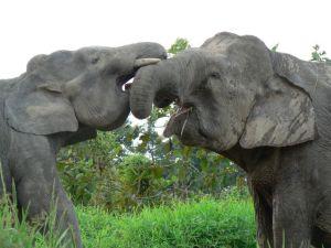 p-elephant-play
